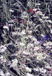 BFEC Gardens-Chrysanthemum