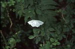 BFEC White moth in sunfleck on shrubs-south woods