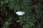 BFEC White moth in sunfleck on shrubs-south woods