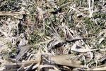 Over winter weeds-Cornfield