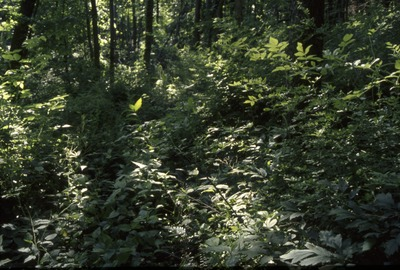 BFEC South woods habitat: Thick Understory
