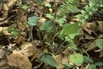 BFEC deer browsing study:T1 Understory plants