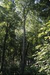 BFEC South Woods Habitat: Even Age Stand, oak