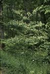 Exotic spp: European buckthorn-Tree view Gap Trail, Mile 1.8