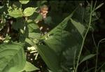 BFEC tiny tree frog South Woods, near Gap Trail