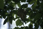 Red-eye Vireo nest along Gap Trail, mile 1.8