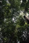 herbivory study transect BFEC Canopy