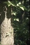 herbivory study browsed Virginia creeper, BFEC
