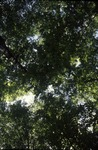 herbivory study transect T21 BFEC canopy