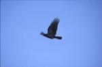 BFEC Prarie Birds, crow in flight
