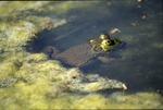 BFEC Ponds, Green Frog