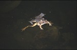 Wood frogs mating in pond, Ramser Arboretum by Pat Heithaus and Ray Heithaus