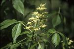 Buckeye flowers and leaves, Kokosing Gap Trail
