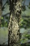 Elm corky bark Kokosing Gap Trail