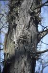 BFEC Trees Honey Locust with Thorns