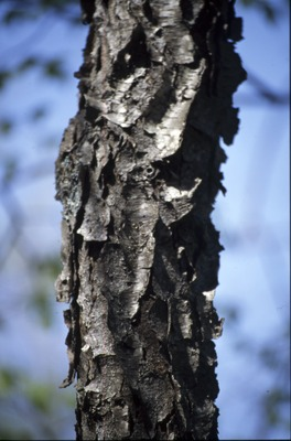 BFEC Trees: Young Cherry trunk