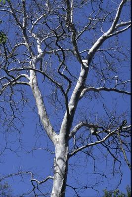 BFEC Trees Sycamore trunk