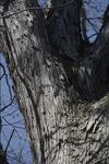 BFEC Trees, white oak low