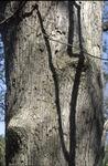 BFEC Trees White oak-mid level trunk