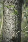BFEC Trees-Ash leaved Maple