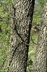 BFEC Trees Hackberry trunk