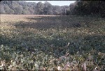 Soybean field-KCES-Shade from gap trail trees