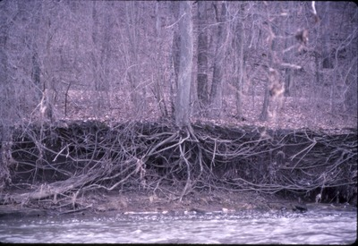 Exposed roots, bank erosion, Kokosing-KCES