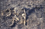 Prarie Burn BFEC Deer Carcass