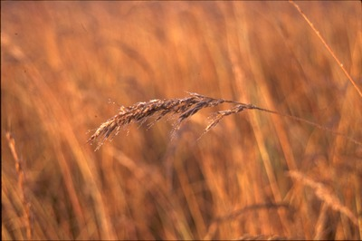 Indiangrass and Dew