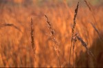 Indiangrass inflorescence, dew, spider web