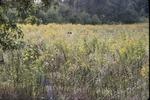 Old field-Goldenrod behind visitor center