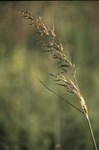 Indiangrass inflorescence
