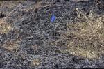 BFEC Prarie post burn, blue flag