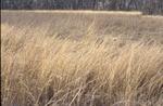 BFEC Prarie Pre Burn Indian Grass