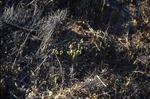 BFEC Prarie grass emerging post burn