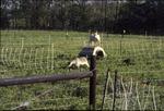 Goat Grazing Plot