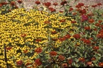 Blackeye susan and zinnia from visitor center