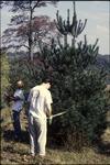 Dan and Lisa measuring pines