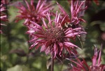 Bombus, red bee balm KCES