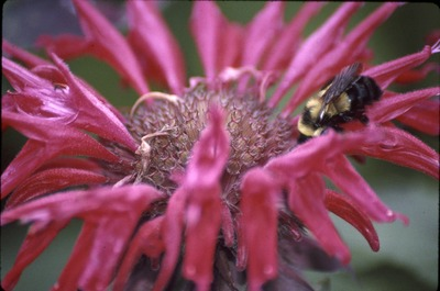 Bombus red bee balm, KCES