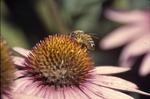 Apis melifera on echinacea