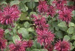 KCES Bombus on Red Bee Balm