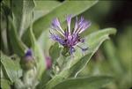 Halictid, purple bee balm