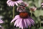 KCES Echinacea