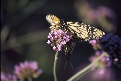 Mating Monarchs in Verbena KCES