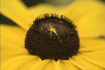 KCES insects andrenid on Rudbeckia