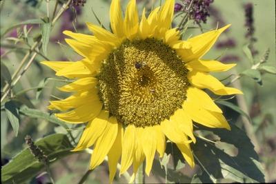 KCES Sunflower