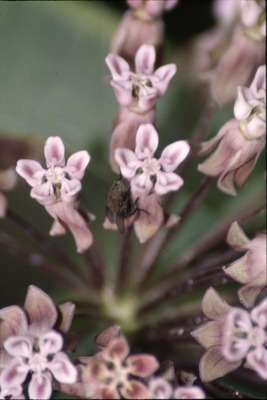 KCES Insects brown fly on milkweed
