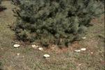 Mushroom ring around pine in KCES pine plantation