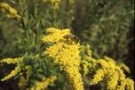 Animal behavior-Apis on Goldenrod